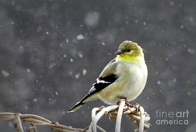 Poster featuring the photograph Goldfinch by Brenda Bostic