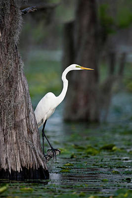 Great Egret (ardea Alba Poster by Larry Ditto