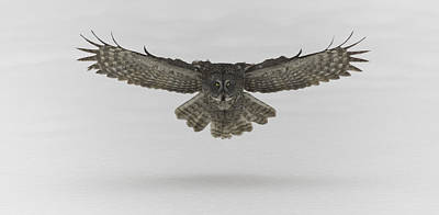 Great Grey Owl In Flight Poster