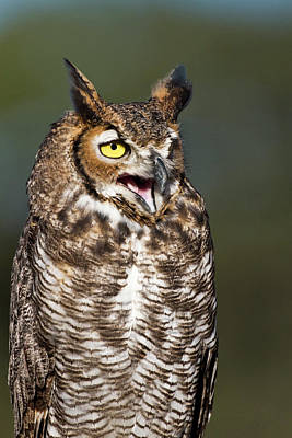 Great Horned Owl (bubo Virginianus Poster by Larry Ditto