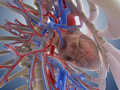 Heart-lung System, Artwork Poster by Science Photo Library