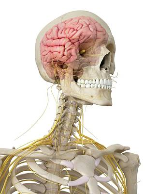 Human Brain And Nerves Poster