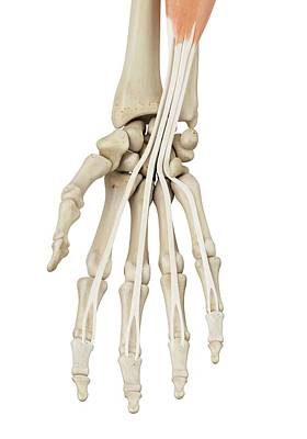 Human Hand Anatomy Poster by Sciepro