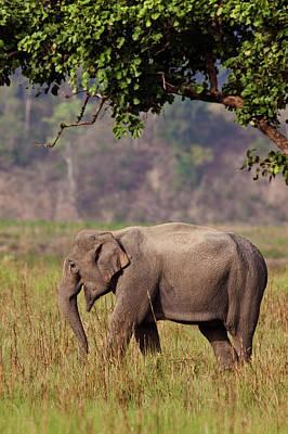 Indian Asian Elephant, Corbett National Poster