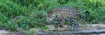 Jaguar Panthera Onca Walking Poster by Panoramic Images