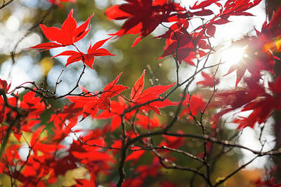 Japanese Maple In Autumn Color Poster by Peter Adams