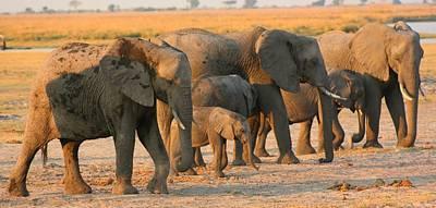 Poster featuring the photograph Kalahari Elephants by Amanda Stadther