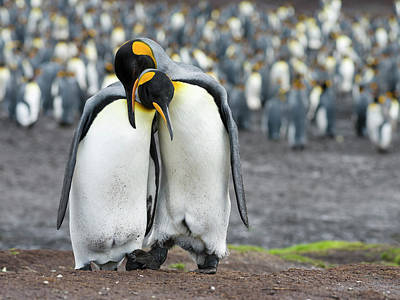 King Penguin (aptenodytes Patagonicus Poster by Martin Zwick