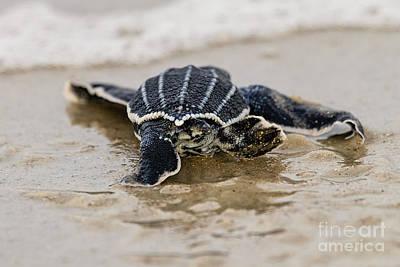 Leatherback Sea Turtle Hatchling Amelia Island Florida Poster by Dawna  Moore Photography