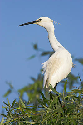 Little Egret (egretta Garzetta Poster