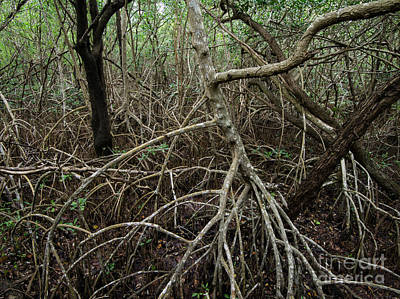 Mangrove Roots Poster by Tracy Knauer