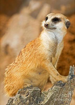 Meerkat Poster by Millard H. Sharp