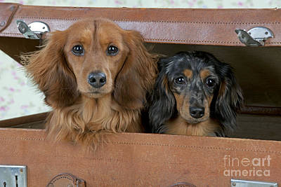 Miniature Long-haired Dachshunds Poster by John Daniels