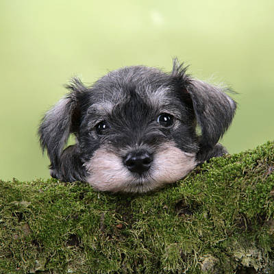 Miniature Schnauzer Puppy Poster by John Daniels