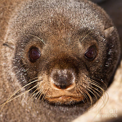 New Zealand Fur Seal Arctocephalus Forsteri Poster