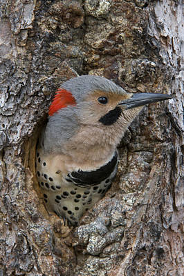Northern Flicker In Nest Cavity Alaska Poster by Michael Quinton