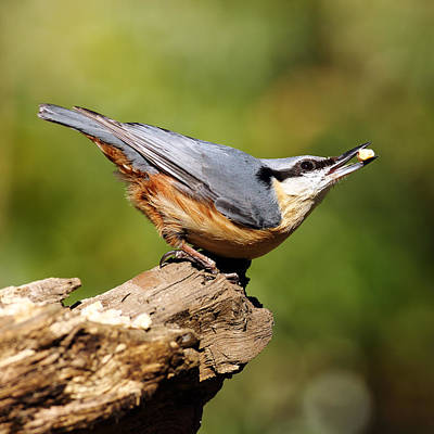 Nuthatch Poster by Grant Glendinning