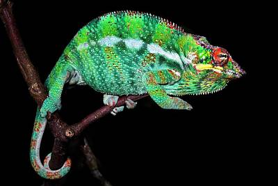 Panther Chameleon Poster by Alex Hyde