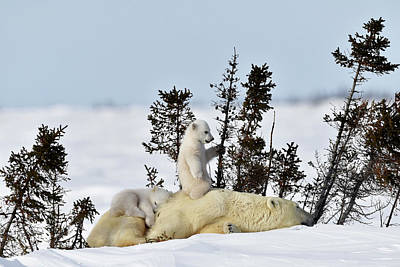 Polar Bear Mother And Cubs Poster