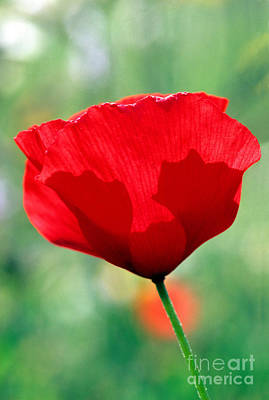 Poster featuring the photograph Poppy Flower by George Atsametakis