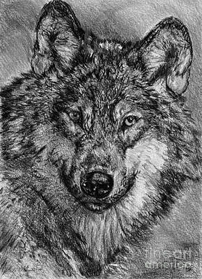 Portrait Of A Gray Wolf Poster by J McCombie