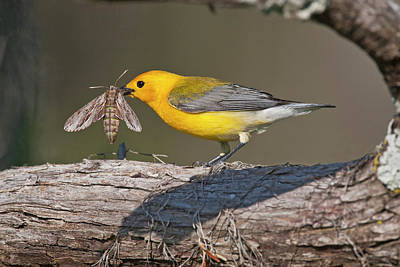 Prothonotary Warbler (prothonoteria Poster by Larry Ditto