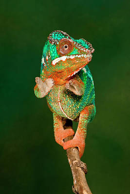 Rainbow Panther Chameleon, Fucifer Poster