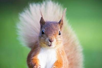 Red Squirrel At Haweswater Poster by Ashley Cooper