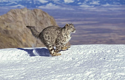 Snow Leopard Or Ounce Uncia Uncia Poster by Gerard Lacz