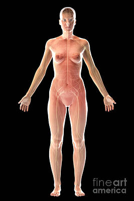 The Nervous System Female Poster by Science Picture Co