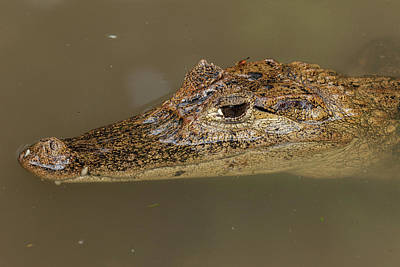The Spectacled Caiman Is The Most Poster by Jon G. Fuller