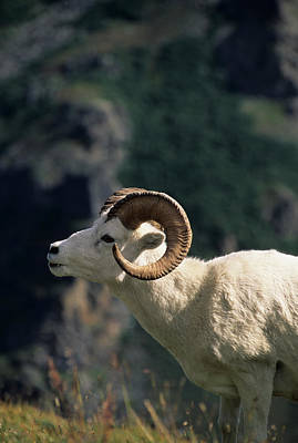 Usa, Alaska, Dall Sheep, Dall Ram Poster by Gerry Reynolds
