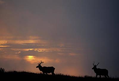 Usa, California, Sunset, Tule Elk Poster
