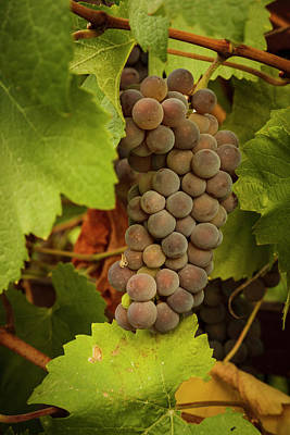 Usa, Oregon, Keizer, Pinot Gris Grapes Poster by Rick A Brown