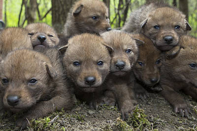 4 Week Old Wild Coyote Pups In Chicago Poster by Suzi Eszterhas