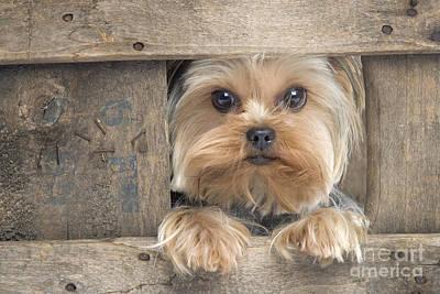 Yorkshire Terrier Dog Poster by Jean-Michel Labat