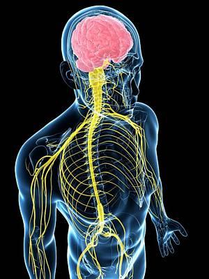 Human Nervous System Poster by Sebastian Kaulitzki