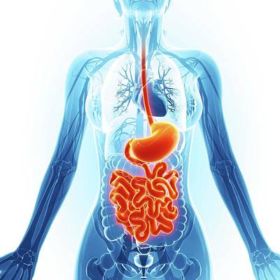 Human Digestive System Poster