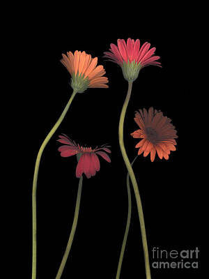 4daisies On Stems Poster by Heather Kirk
