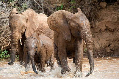 African Elephants Loxodonta Africana Poster by Panoramic Images