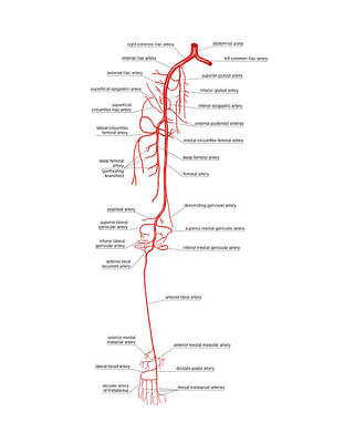 Arterial System Of The Leg Poster by Asklepios Medical Atlas