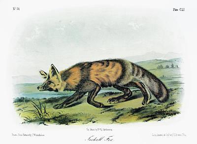 Audubon Fox Poster by Granger