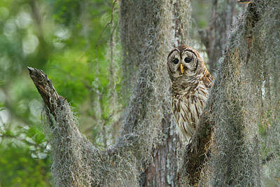 Barred Owl (strix Varia Poster