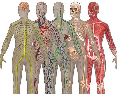 5 Body Systems In Female Anatomy Poster by Gwen Shockey
