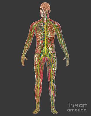 5 Body Systems In Male Anatomy Poster by Gwen Shockey