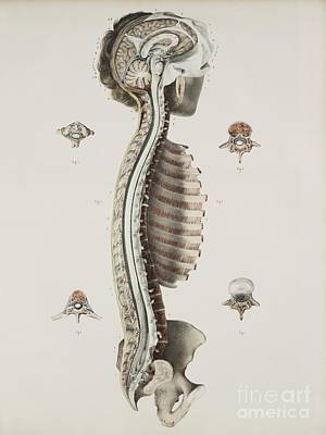 Brain And Spinal Cord, 1844 Artwork Poster by Spl