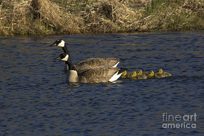 Canadian Geese Poster by Linda Freshwaters Arndt