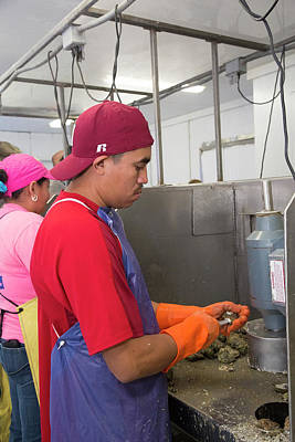 Commercial Oyster Processing Poster