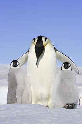 Emperor Penguin And Chicks Poster by M. Watson