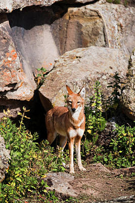 Ethiopian Wolf (canis Simensis Poster by Martin Zwick